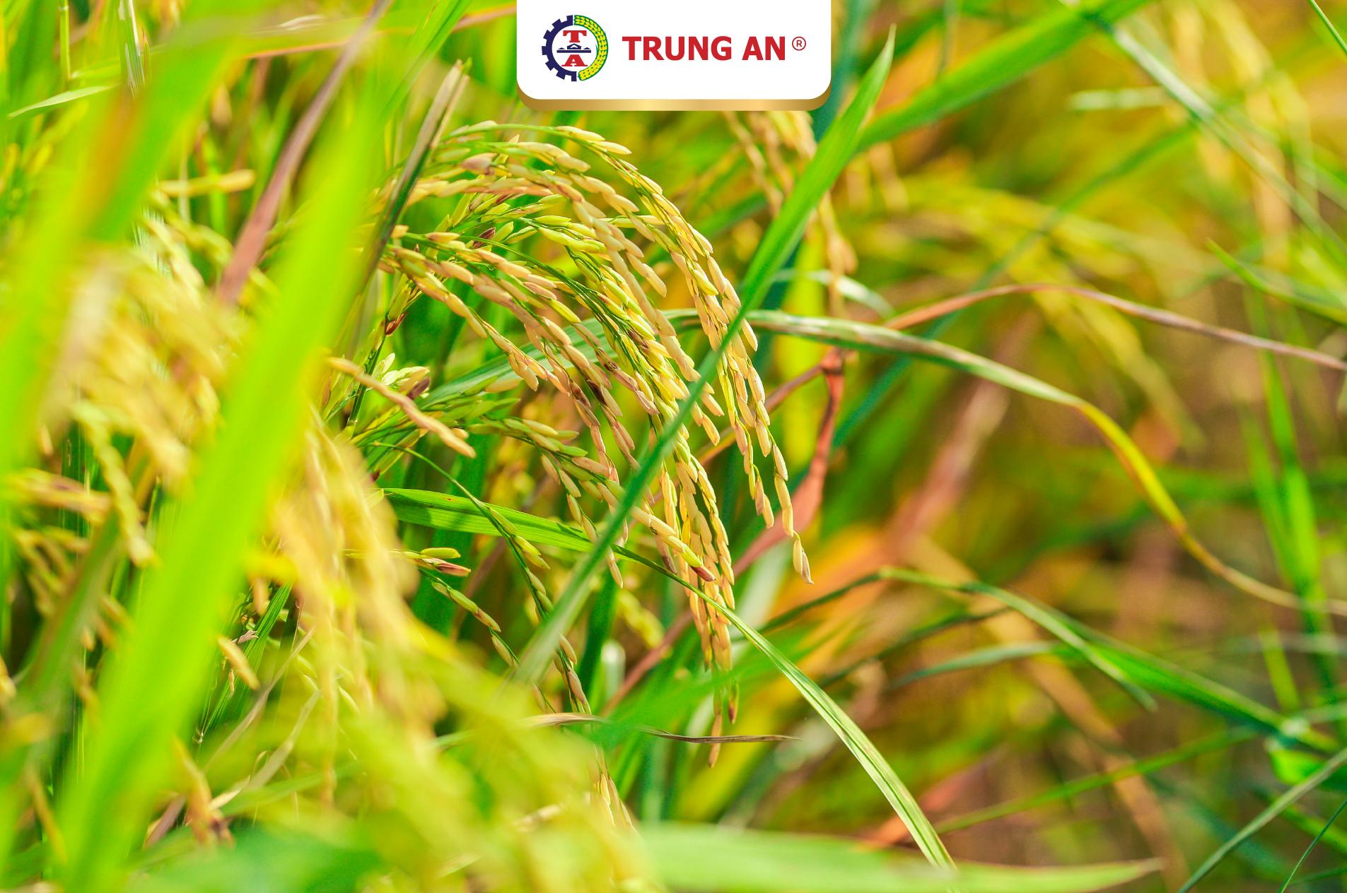 lúa gạo